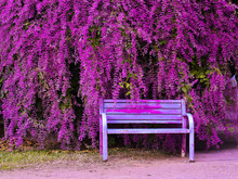 Congea Tomentosa Roxb. Lavender Wreath, Shower Orchid, Old Chair