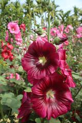 FototapetaRed Hollyhock flower in sunlight garden.