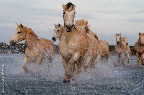 Photo  Horses running free in Camargue - Southern France