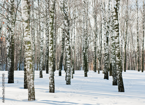 Foto op Canvas Berkbosje birch forest in winter sunny day