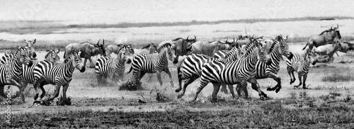 Poster Zebra Zebra run