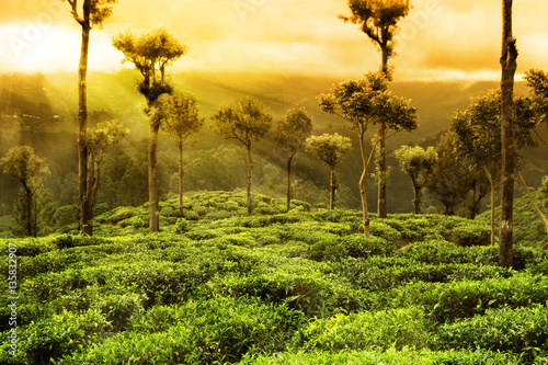 tea plantation landscape Wallpaper Mural