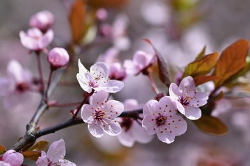 FototapetaSpring flowers. Beautifully blossoming tree branch. Cherry - Sakura and sun with a natural colored background.