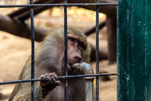 Monkey In A Cage Drinking Water In A Zoo