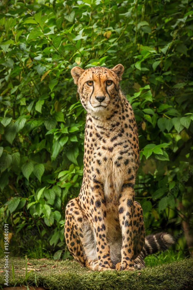 Proud Cheetah posing