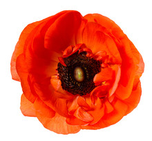 Flower Head Poppy Red Anemone ...