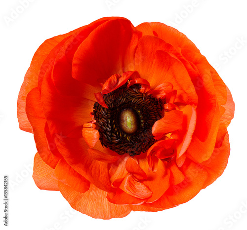 Foto op Canvas Poppy Flower head Poppy Red anemone isolated white background