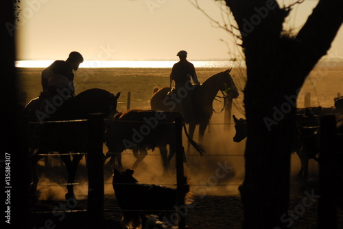 Poster Buenos Aires Trabajos de campo con hacienda Angus en los corrales, Argentina