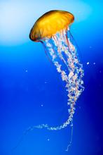Yellow Jellyfish.
