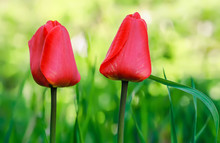 Two Red Tulips Closeup