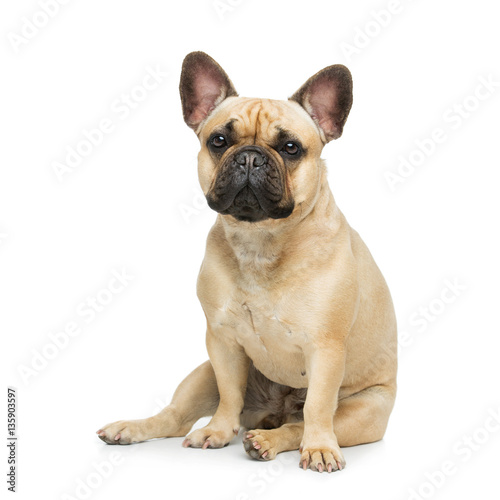 Poster Franse bulldog Beautiful french bulldog dog