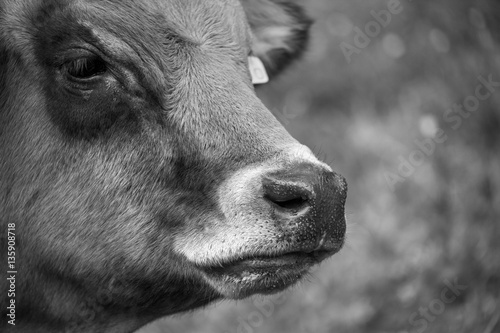 Photo  vache Tarine