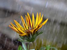 Yellow And Red Gazania Flower ...