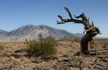 Dry Tree In The Desert Mountains In The Background, Smrti Valley