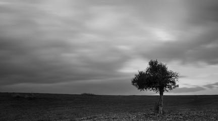 Lonely Olive tree in a green field  and  moving clouds