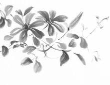 Clematis Ink Painting