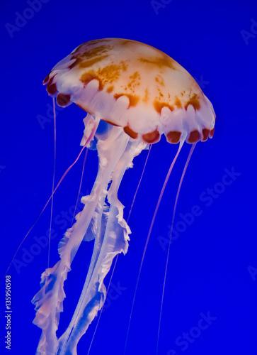Fotografie, Obraz  Sea Nettle Jellyfish