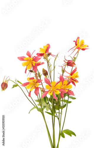 aquilegia flower isolated Poster Mural XXL