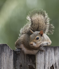 Eastern Gray Squirrel Resting On A Wooden Fence And Looking To Right Side Against A Blurred Green Background