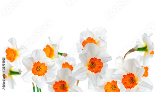 Garden Poster Narcissus beautiful white and orange daffodil flowers isolated on white ba