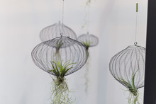 Air Plants In A Net