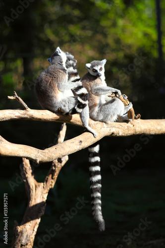 Two adult lemur katta (Lemur catta) Canvas-taulu