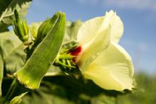 Okra Flowers With Pollen