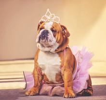 A Cute Bulldog Dressed Up In A Pink Tutu And A Princess Tiara Crown