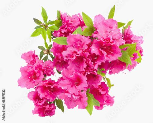 Deurstickers Azalea Isolated pink spring azalea