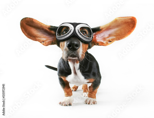 Fotografie, Obraz  a basset hound with his ears flying away wearing goggles isolate