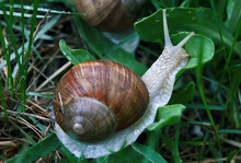 Snail In The Green Grass Kissing The Leaf