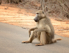 Baboon In Kruger National Park In South Africa