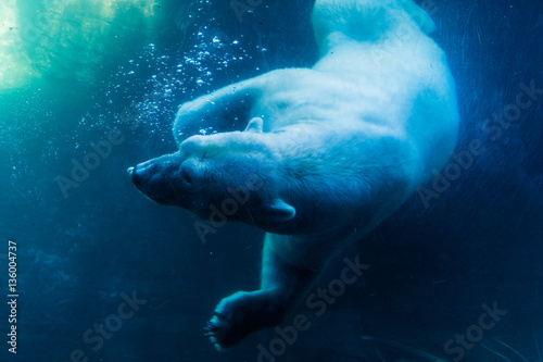Polar Bear Diving Canvas Print