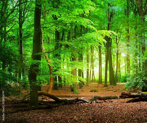 Poster Forets Spring beech tree forest in the Netherlands, Veluwe.