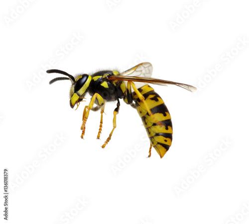 wasp isolated on white Canvas-taulu