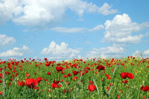 Fototapeta poppies flower meadow spring season obraz na płótnie