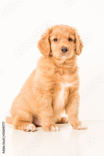 Photo  Toller pup