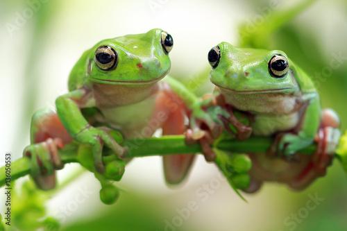 Zdjęcie XXL Dumpy żaba
