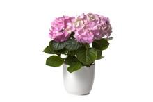 Hydrangea In White Flower Pot On White Background