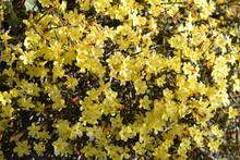Mountain Laurel Yellow Flowers
