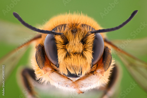 Spoed Foto op Canvas Bee Extreme magnification - Solitaire Bee, Megachilidae