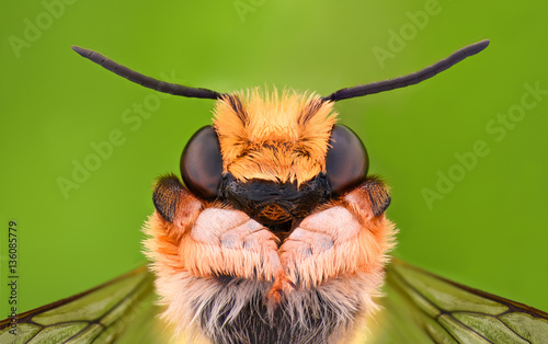 Photo Stands Bee Extreme magnification - Solitaire Bee, Megachilidae