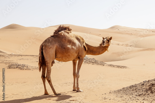 Foto op Canvas Kameel Camel in the desert