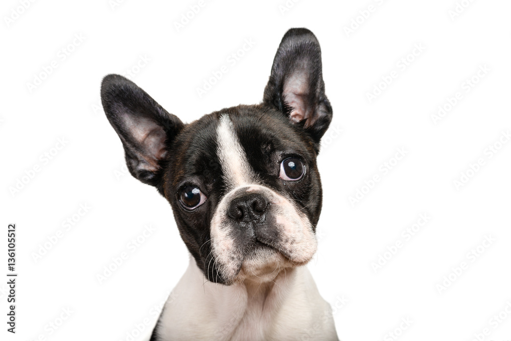 Fototapety, obrazy: Boston terrier puppy isolated on white for copy space use - studio shot