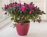 Pink azalea in a red  pot