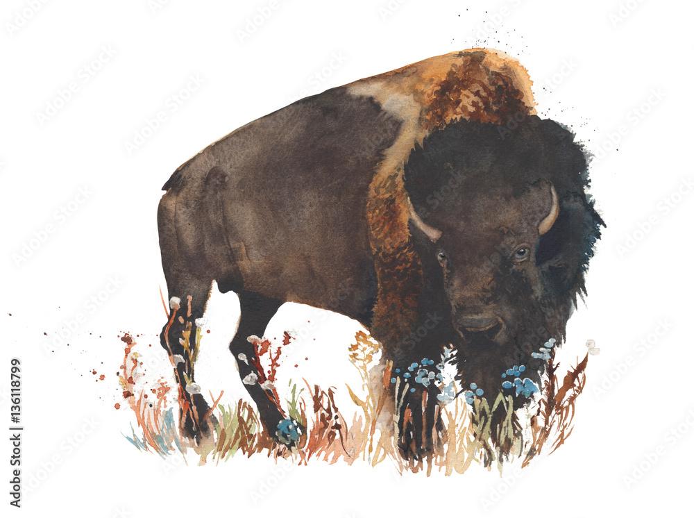 Fototapeta Bison buffalo bull wild animal watercolor painting illustration isolated on white background