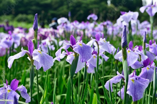 Deurstickers Iris 神楽女湖の花菖蒲