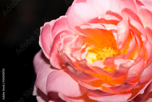 Fototapeta Pink Rose Flower isolated obraz na płótnie