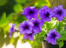 Close Up Of Purple Petunias Blooming On Hanging Flower Pot