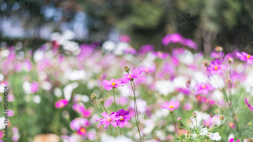 Purple pink white cosmos flowers in the garden cosmos flower purple pink white cosmos flowers in the garden cosmos flower cosmos bipinnatus mightylinksfo